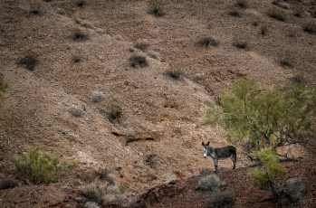 Wild Burro Shelters From Oncoming Storm