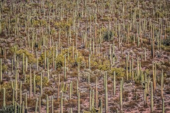 Cactus Forest (Mostly Saguaro)