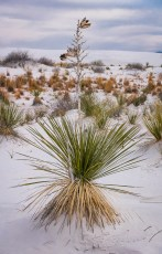 Yucca on Snow-Like Sand