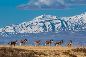 Tibetan wild donkeys on the grasslands