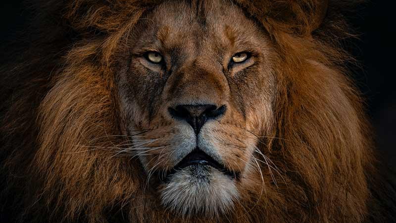 上昇獅子解釋