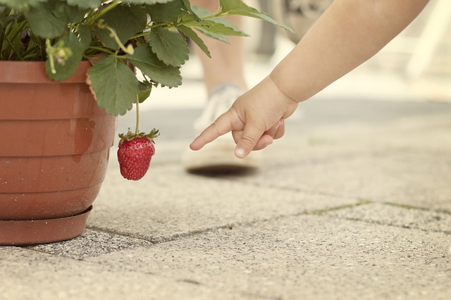 How Long Does It Take to Grow Strawberries? Seed, to Plant ...