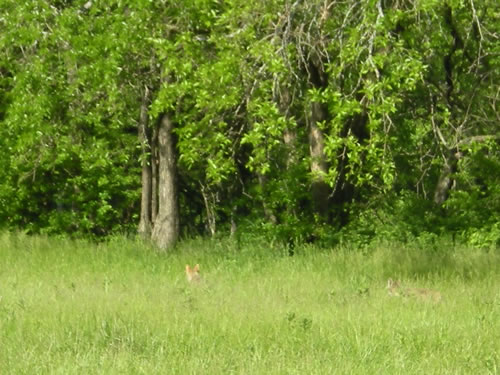 Here the coyotes are barely visible in the long grass.  A moment later they were gone.