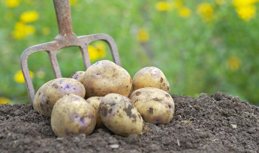Seed Potatoes Feature image