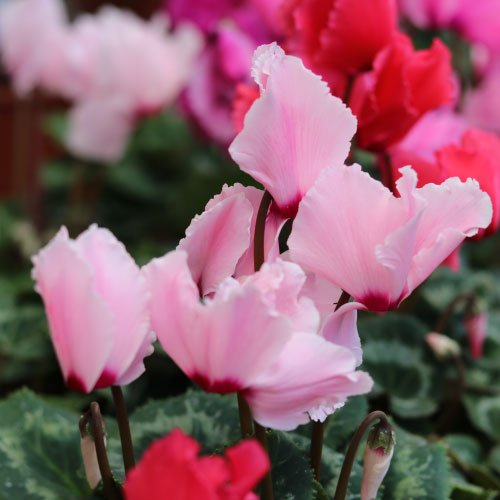 cyclamen-indoor-curly