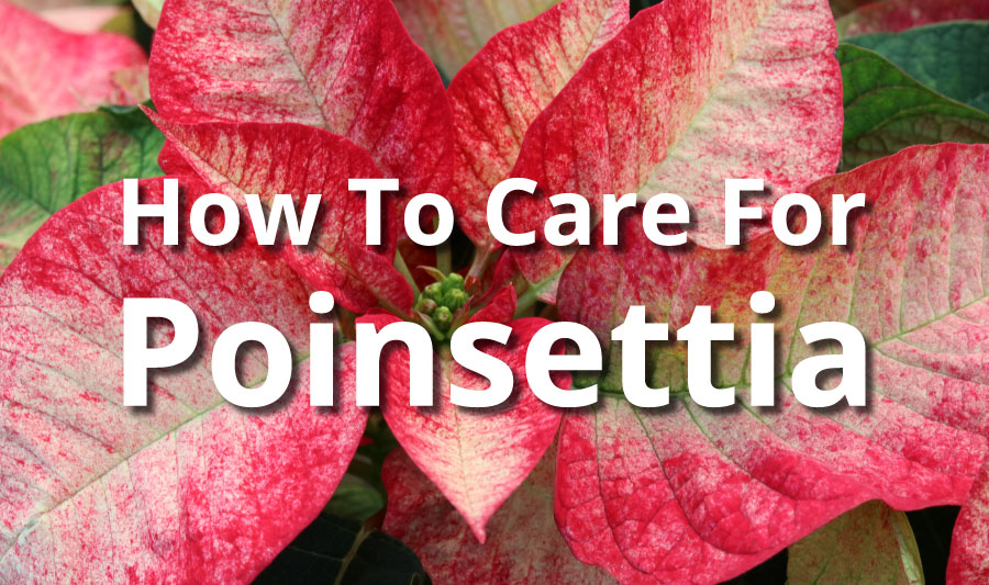 How To Care For Poinsettia
