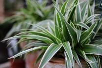 Spider Plant is an impressive house plant for beginners. It's easy to care for, tolerates average room conditions, and is easy to propagate. The slender, arching leaves are dark green with a creamy white stripe. Leaves grow from a central crown and can reach up to 1 ft (30 cm) long. Give this plant plenty of light for the best leaf color.