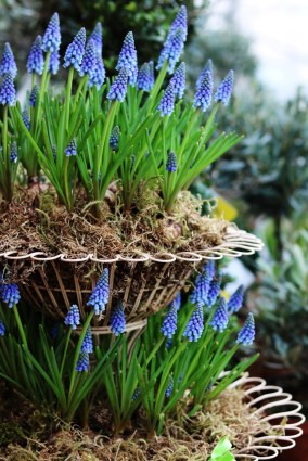Each hyacinth bulb produces a thick, upright flower stem, which carries a cluster of rounded flowers that resembles a bunch of grapes. Grape hyacinth flowers are lightly fragrant and available in beautiful shades of lavender-blue to purple, plus pink and white varieties, too. Surrounding the flower stems are narrow, arching leaves.