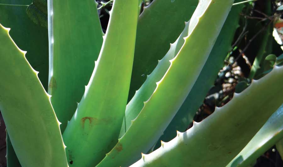 Aloe Vera plants at Woodbank Nurseries