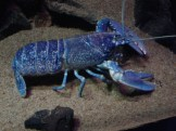 Blue Lobster - very rare