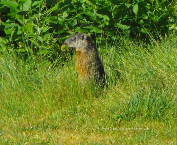 wildlife,animals,gophers in Nova Scotia