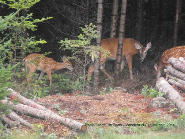deer,baby,momma,wildlife,animals,Loch Katrine, Nova Scotia