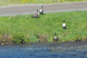 animals,wildlife,baby geese