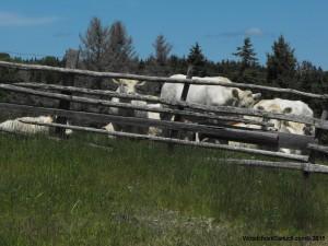 farm,cows,pasture