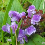 wild floers,purple leaves,Nova Scotia,insects