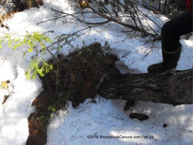 pine tree,fallen under snow load