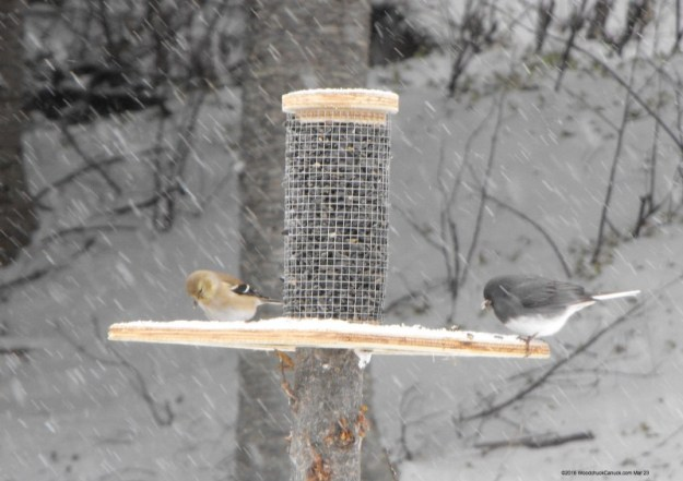 bird feeders,wildlife,animals,Junco,sparrows