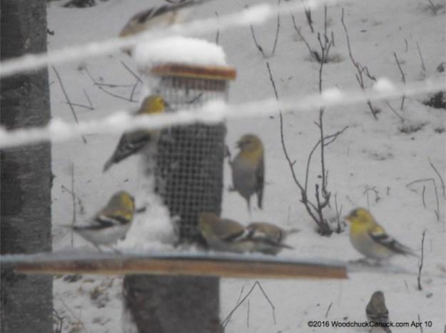 birdfeeders,goldfinches
