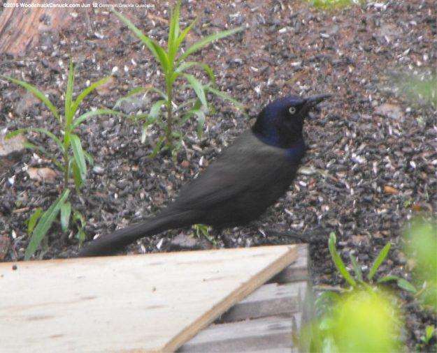 nature,birds,Common Grackle Quiscalus