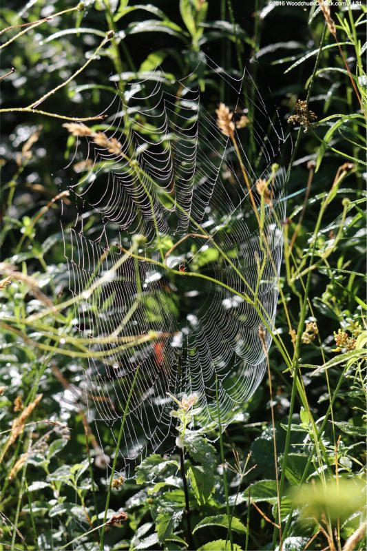 spider webs in the tall grass