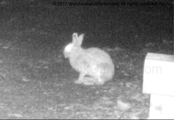 rabbits, wildlife,Nova Scotia,night vision