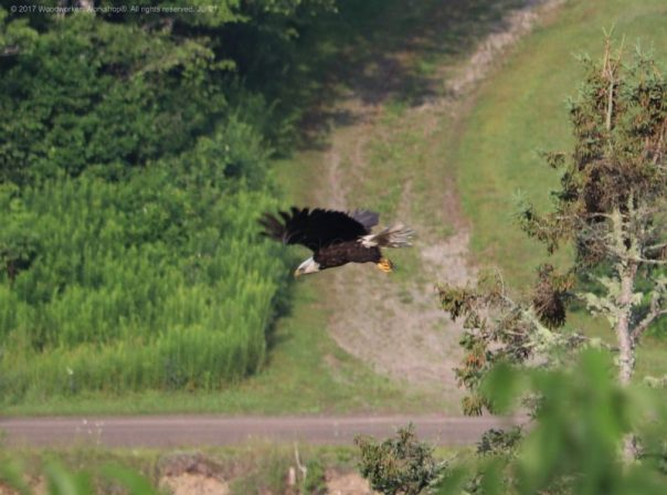 bald eagles, animals,birds,wildlife