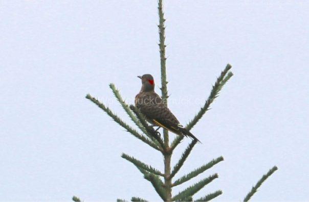 birds,Northern Flicker,Nova Scotia wildlife