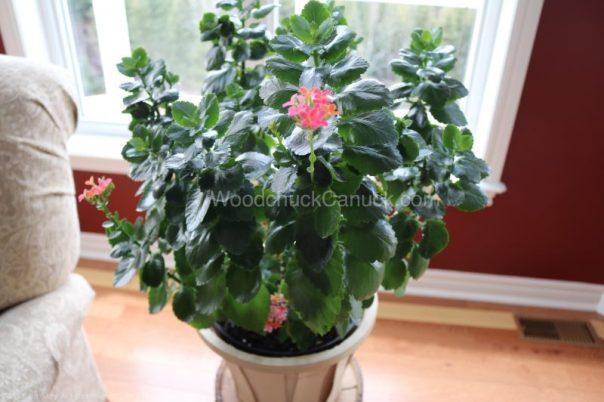 kalanchoe,house plant flowering