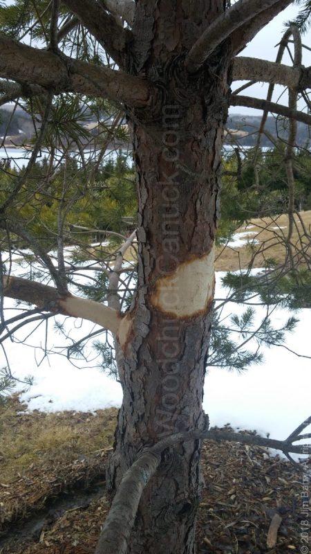 porcupines,pine tree