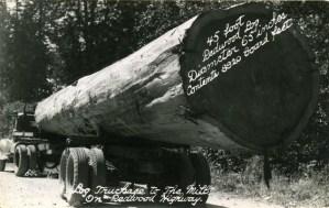 massive logs,vintage photographs,forestry