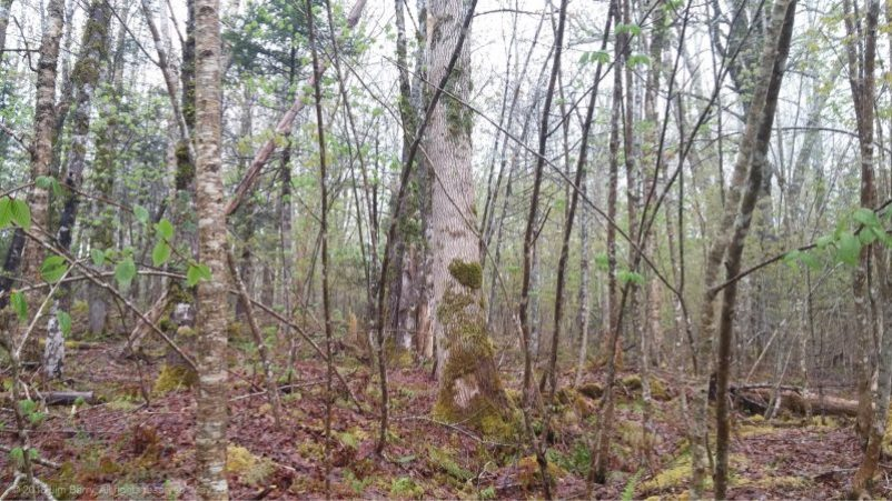 white ash, Antigonish County,Nova Scotia,sustainable forestry