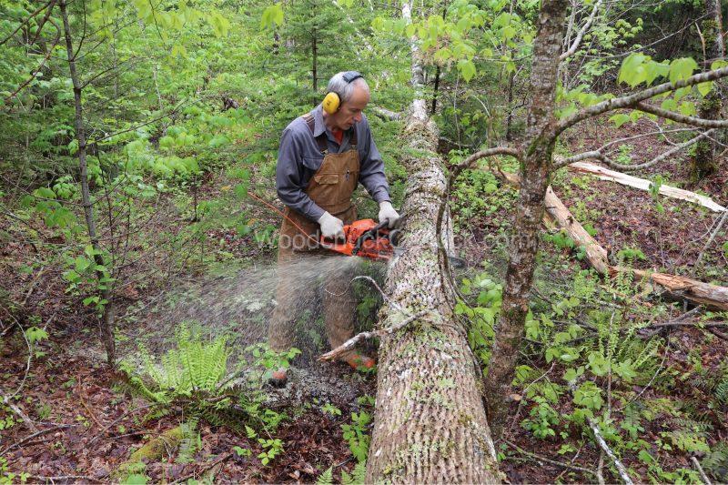 ash tree,chainsaw,winch