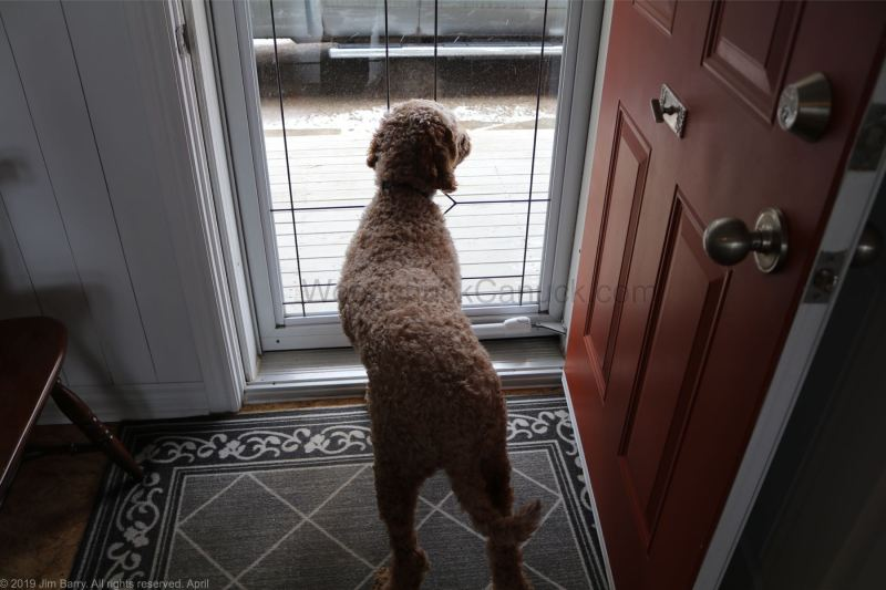 Jacob, Cockapoo dogs, Antigonish County, Nova Scoitia