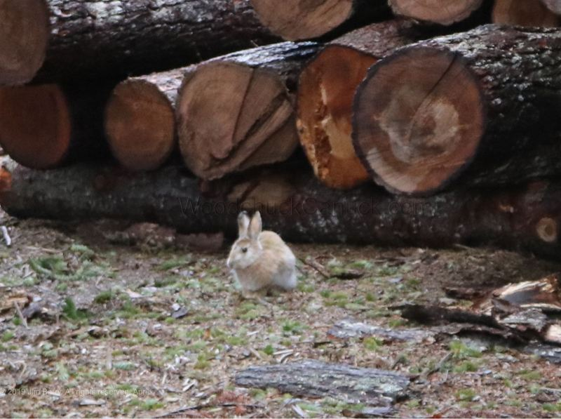 rabbits, bunny rabbits, Nova Scotia, Loch Katrine, Antigonish County