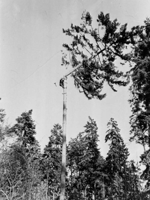 1945 Sanford Keys Sr. topping spar tree.