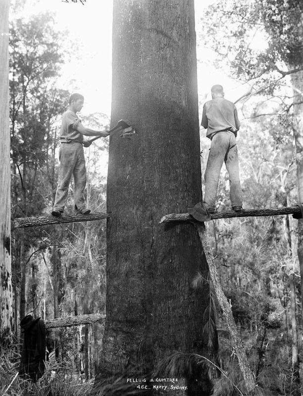 Felling a gum tree, Kerry, Sydney, Australia
