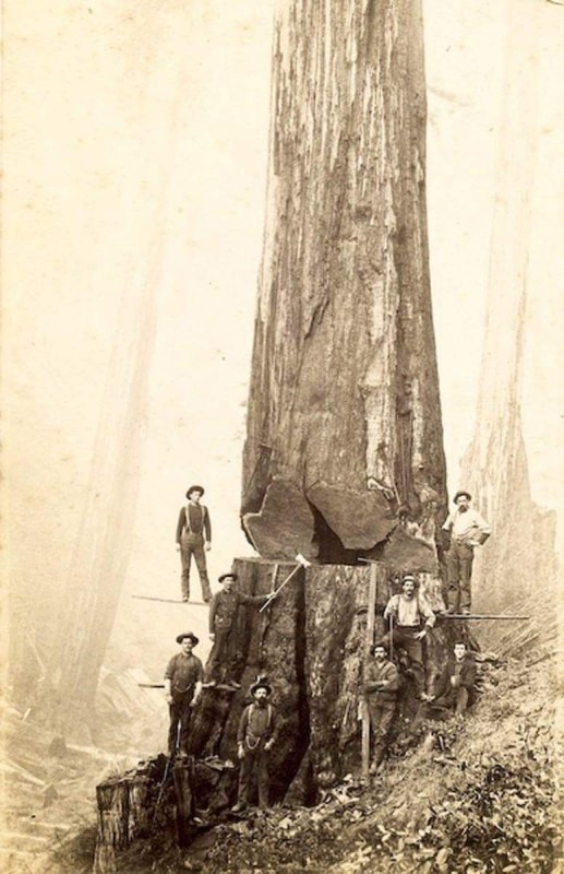 Seven woodsmen with a large tree.