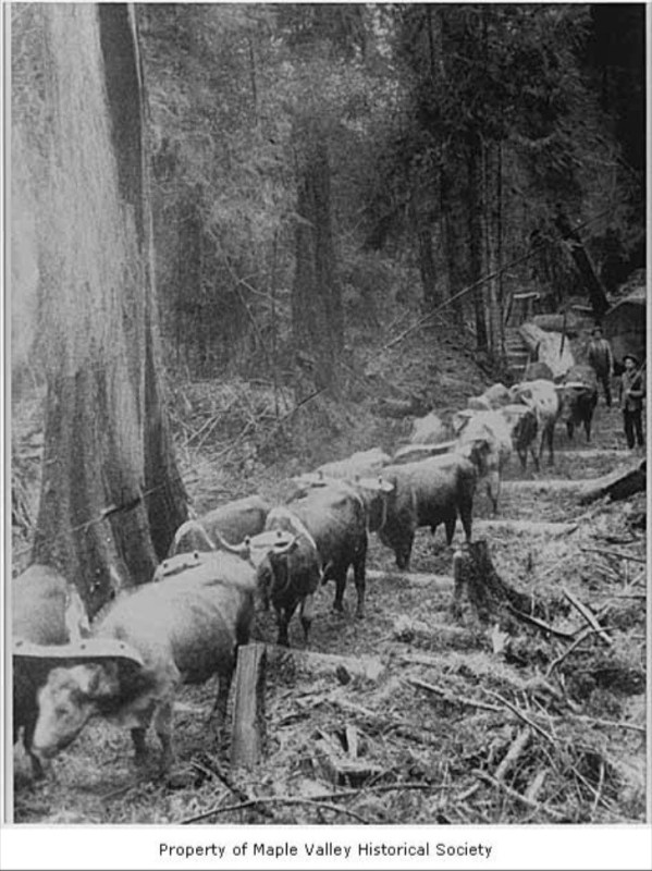 Kerry Logging Company workers with oxen pulling logs.