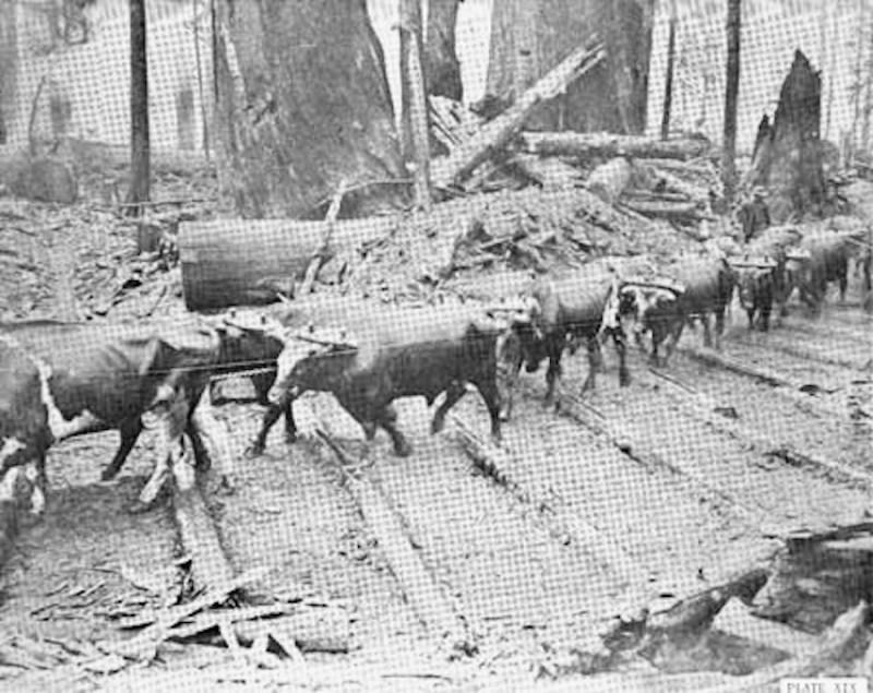 Oxen on corduroy road
