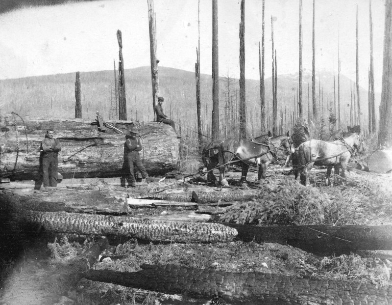 1906 Logging snags (burnt timber) after a forest fire.