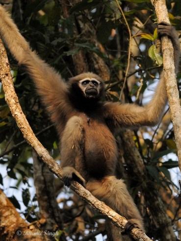 Female Hoolock Gibbon