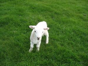 This unusually brazen lamb interrogates Julia