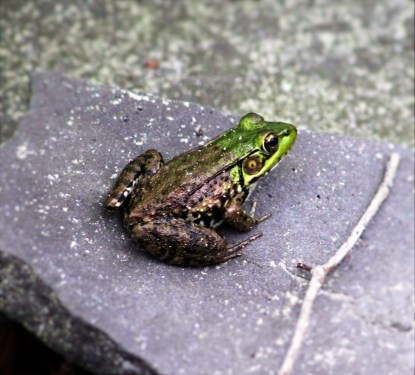 Green frog-normal