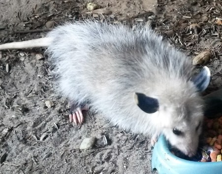 Opossum ready for release