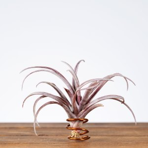 tillandsia capitata domingensis