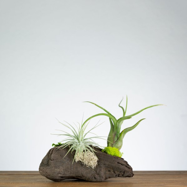 air plant table driftwood display