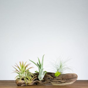 window driftwood air plant display