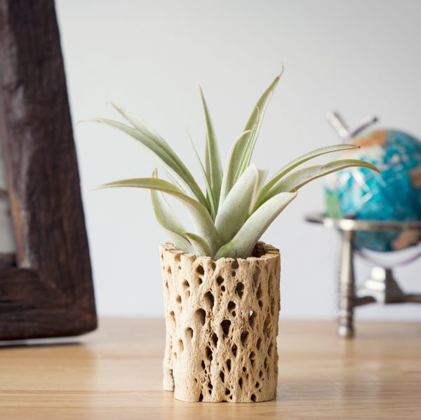 Natural Cholla Air Plant Holder
