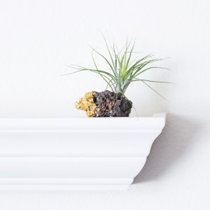 Gold Dipped With Stricta