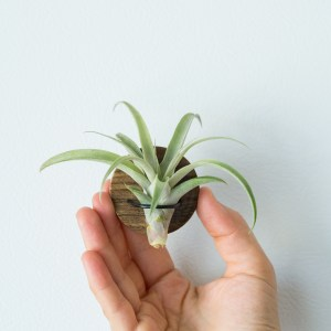 Round Walnut Air Plant Magnet